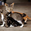 Nursing Kitten - Stockfoto