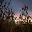Wheat Field Sunset - Stock Photo