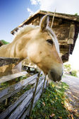 Norwegian Fjord Horse — Stock Photo
