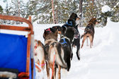 Dog Sled Team — Stock Photo