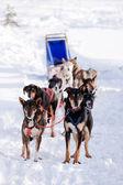 Dog Sled — Foto Stock