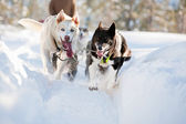 Sled Dog — Stock Photo