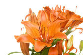 Flowers orange tiger lilies — Stock Photo