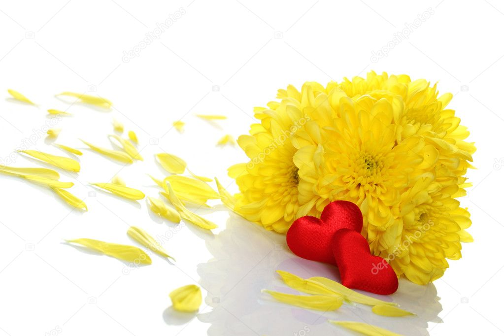 Yellow chrysanthemums with two red hearts. Gift. Isolated on white background — Stock Photo #5519245