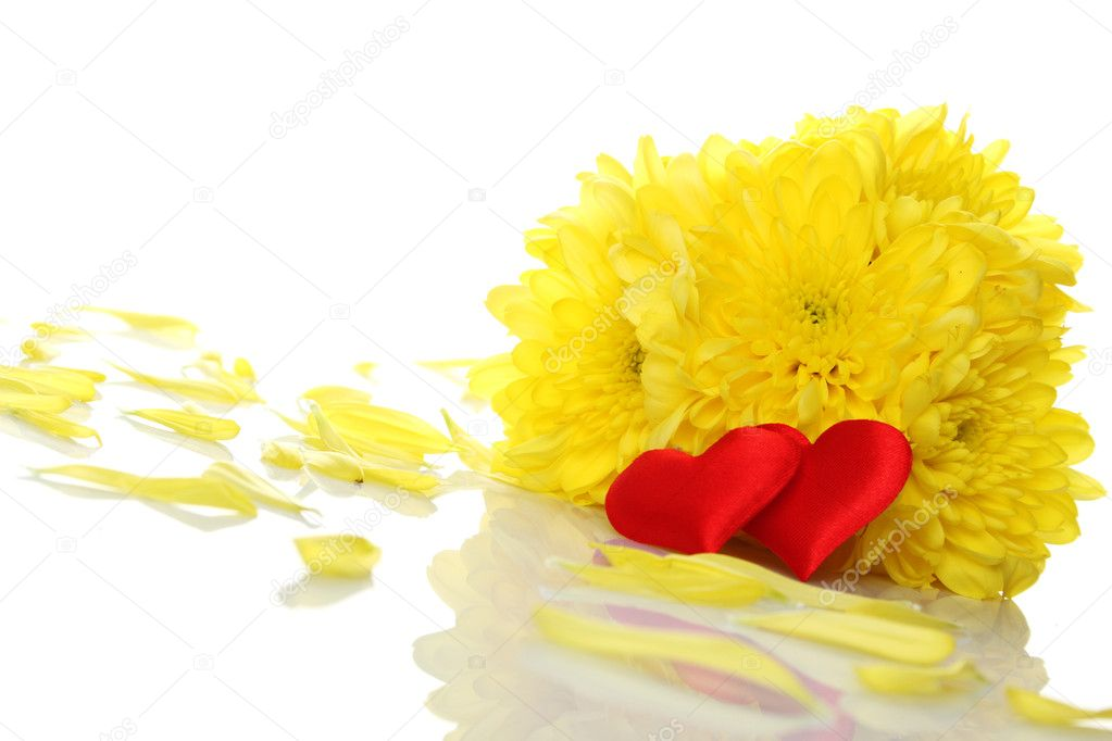 Yellow chrysanthemums with two red hearts. Gift. Isolated on white background — Stock Photo #5533480