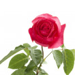 Stock Photo: Single Red Rose
