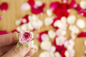 Pink rose and petals — Stockfoto