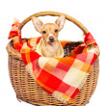 Cute miniature pincher puppy in a basket — Stock Photo