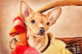 Cute miniature pincher puppy — Stock Photo