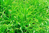 Aloe Vera — Fotografia Stock