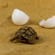 Stock Photo: Little tortoise