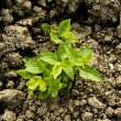 Green plant growing trough dry soil — Stock Photo