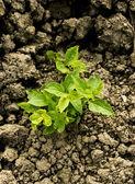 Green plant growing trough dry soil — Stock Photo