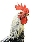 Isolated Cock — Stock Photo