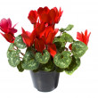Cyclamen — Stock Photo #5565497