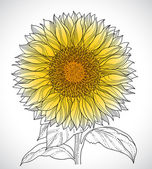 Sunflower drawing — Stock Vector