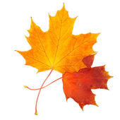 Beautiful autumn maple leaves isolated on white background — Stock Photo