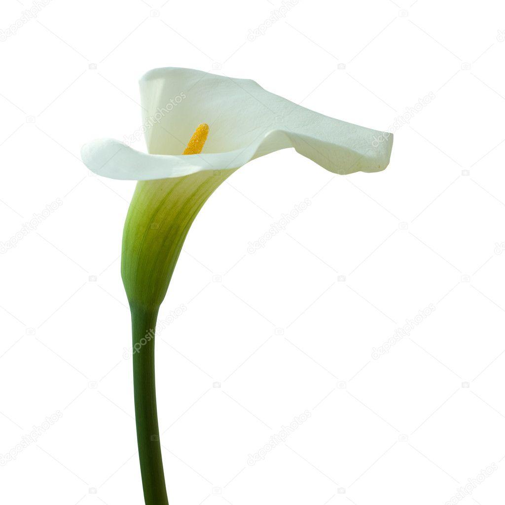 calla lilien die isoliert auf weiss stockfoto artmim 6530885. Black Bedroom Furniture Sets. Home Design Ideas