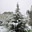 Fir tree snowfall — Stock Photo
