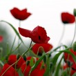 Red poppy flowers — Foto de Stock
