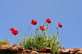 Poppy flowers on rooftop — Stock Photo