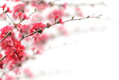 Cherry Blossoms — 图库照片