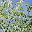 White flowers of apple trees against the blue sky — Stock Photo