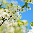 White flowers of apple trees against the blue sky - Stock Photo