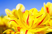 Yellow and red flowers blooming tulips against the blue sky — Stock Photo