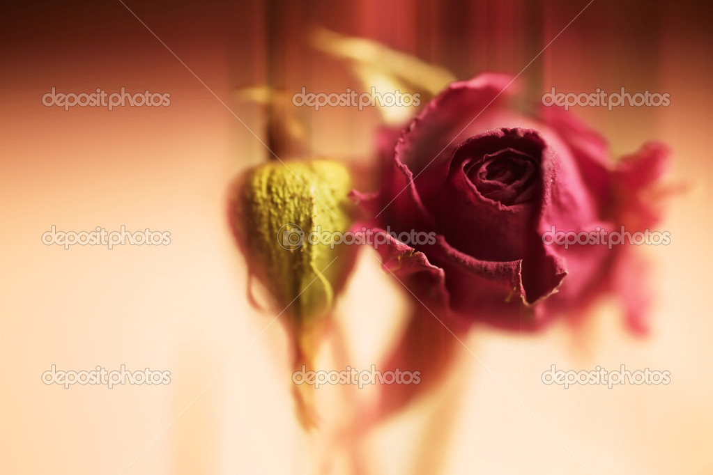 Dried beautiful flower of red rose macro — Stock Photo #5752133
