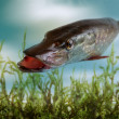 Pike Fish — Stock Photo