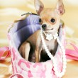 Chihuahua puppy — Stock Photo #6220574