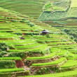 Paddy rice fields — Stock Photo