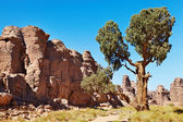 Saharan Cypress, Tassili N'Ajjer, Algeria — Stock Photo