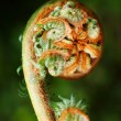 Unravelling fern frond - Stock Photo
