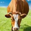 Grazing cow — Stock Photo #5493550
