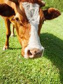 Cow closeup — Stock Photo