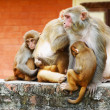 Monkey's family in hindu temple - Stock Photo