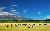Landscape with grazing cows — Foto Stock