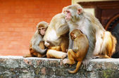Monkey's family in hindu temple — Stock Photo