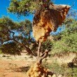 Tree with big nest of weaver birds colony - Stock Photo
