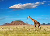 Safari africano — Foto Stock