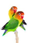 Pair of lovebirds — Stock Photo