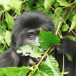 Eastern mountain gorilla - Foto de Stock  