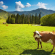Grazing cow — Stock Photo #5822325