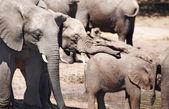 Sloni na zalévání — Stock fotografie