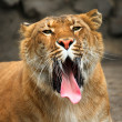 Yawning liger. — Stock Photo