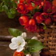 Bouquet flowering quince and leaf green — Lizenzfreies Foto