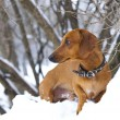 Dachshund in nature in winter — Foto de Stock
