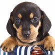 Dachshund puppy — Stockfoto